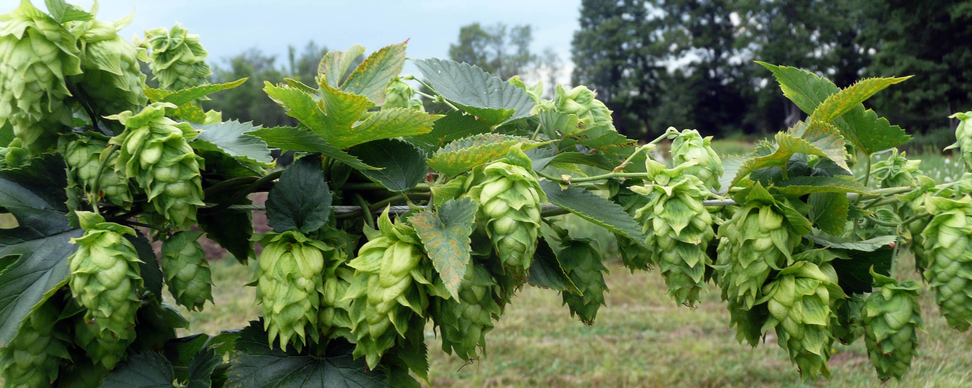 Hops for a craft brewery